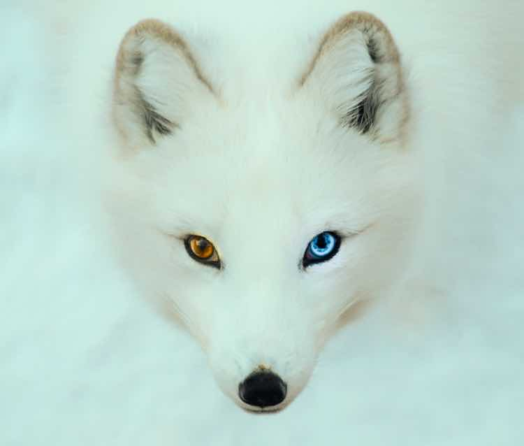 The face of an Arctic Fox with one blue and one hazel eye