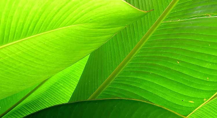 Photograph of green overlapping palm leaves