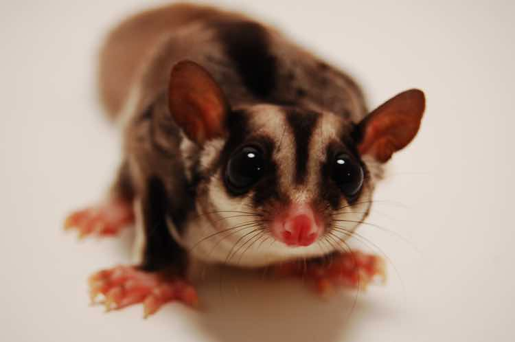 Photograph of a sugar glider