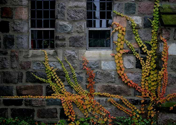 Photograph of green and orange vines in fall clambering against the stone wall of a church
